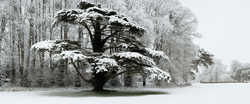 JUSTIN BARTON - Snow Laden Tree in St Giles House Park